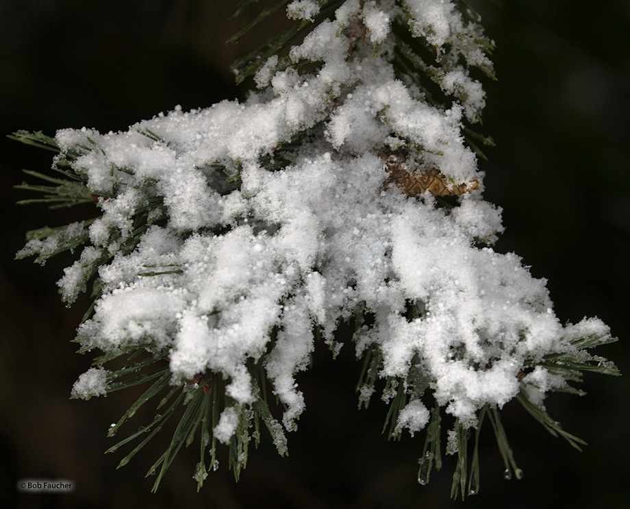 Fresh snow accumulates on a small bough of a pine tree