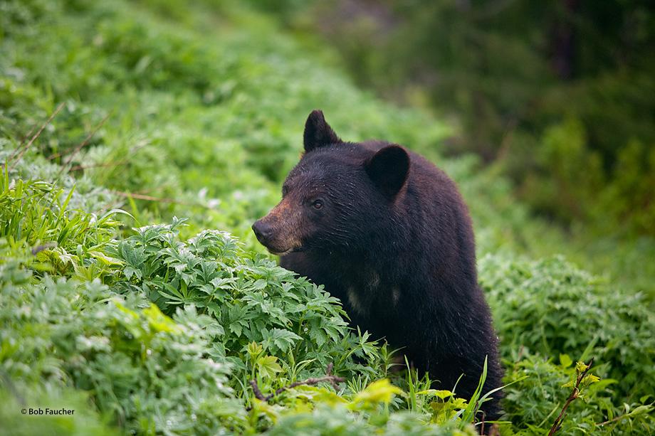 Black bear,Hurricane Ridge,Olympic NP,threatend, photo