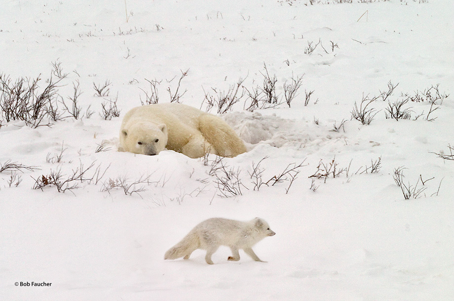 Churchill, Manitoba, Canada, polar bear, photo