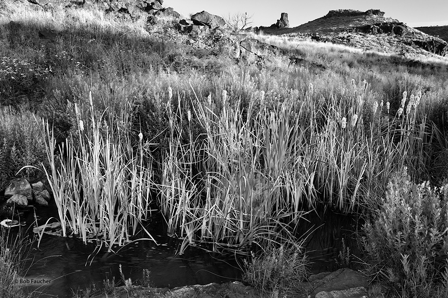 Cattails flourish in an oasis in the Ancient Lakes area in Eastern Washington