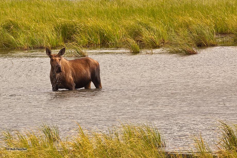 Moose,alces alces,cow,Station Creek,Glenn Hiway,mile 107,Alaska, photo