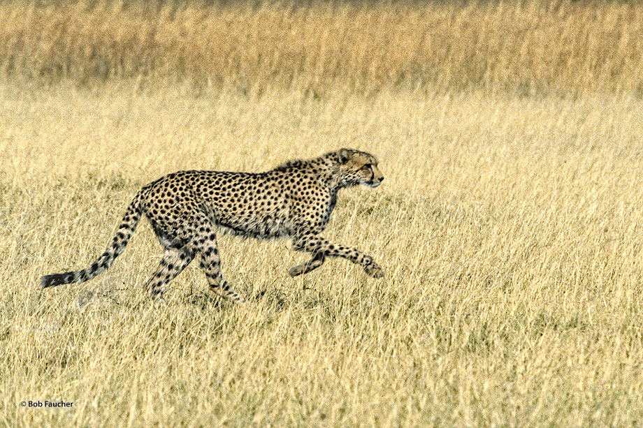 The cheetah (Acinonyx jubatus) is a unique felid whose main hunting strategy is to run down swift prey such as various antelope...