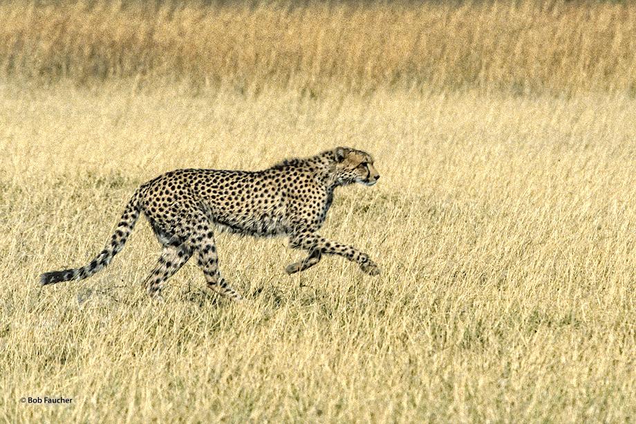 Botswana,Africa,Cheetah, photo