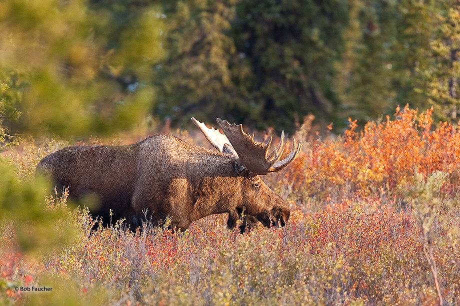 moose,bull,alces alces,taiga,boreal forest,Denali NP,Alaska, photo