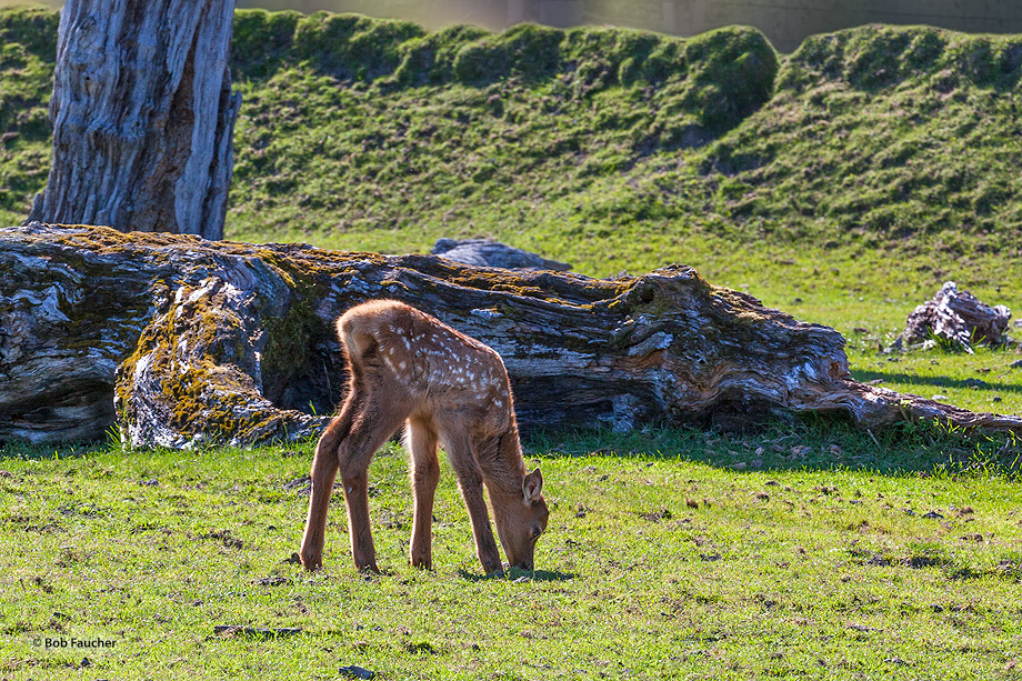 Elk calf grazes to supplement mothr's milk and begin the transition to grass as feed