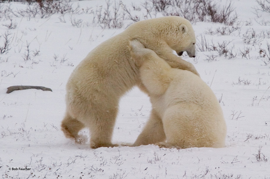 Male polar bears (Ursus maritimus) engage in sparring activities, play fighting, to determine their relative position in the...