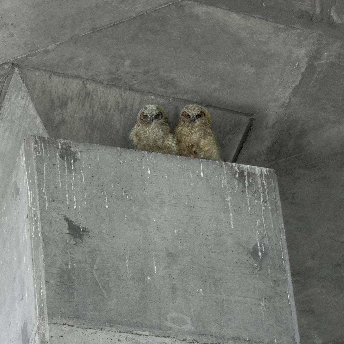 owlet, photo