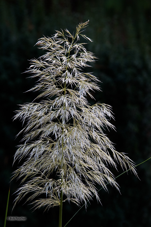 Pampas grass is a common name which may refer to any of several similar-looking, tall-growing species of grass.
