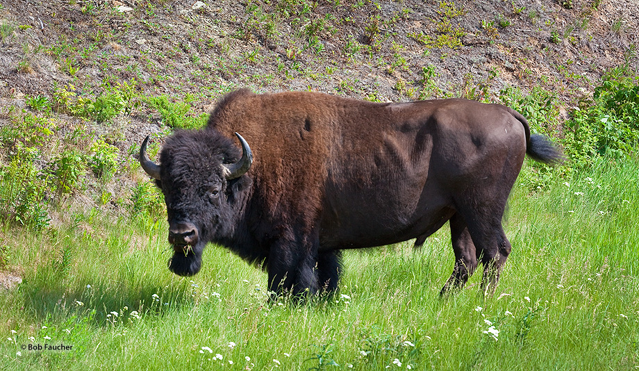 Bison,Bison Bison,Yukon,Canada, photo