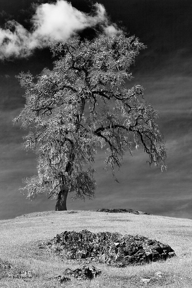Alone, save for a few neighboring rock outcrops, nothing can compete with the simple beauty of this magnificent old tree