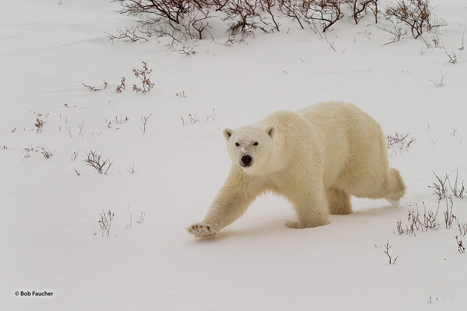 A male polar bear (Ursus maritimus) runs toward the photographer with only one thing on his mind.