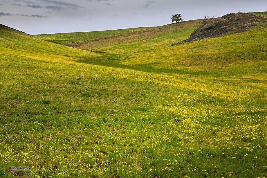 Antelope Oregon,yellow flowers,field,lone tree, photo