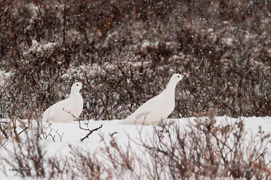 Churchill,Manitoba,Canada,Dymond Lake,Ptarmigan,snow, photo