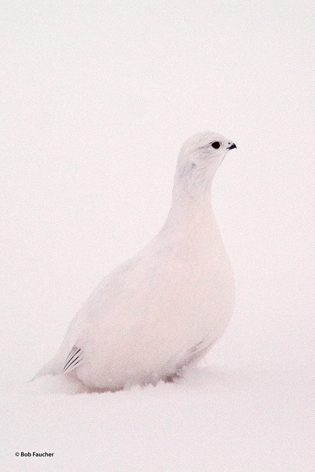 Ptarmigan,subartic grouse, photo
