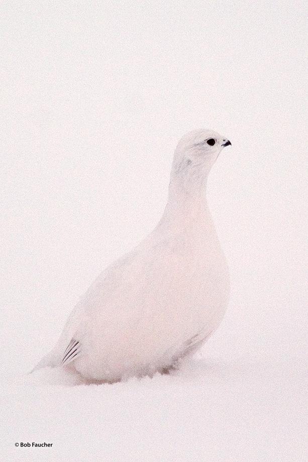 Ptarmigan,subartic grouse, photo