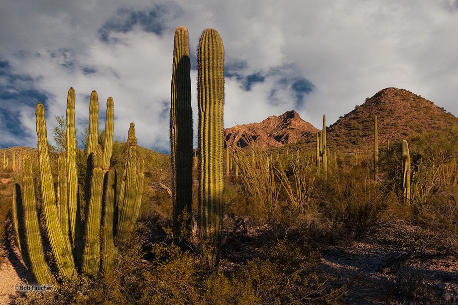 Organ Pipe Cactus NM,North Puerto Blanco drive, photo