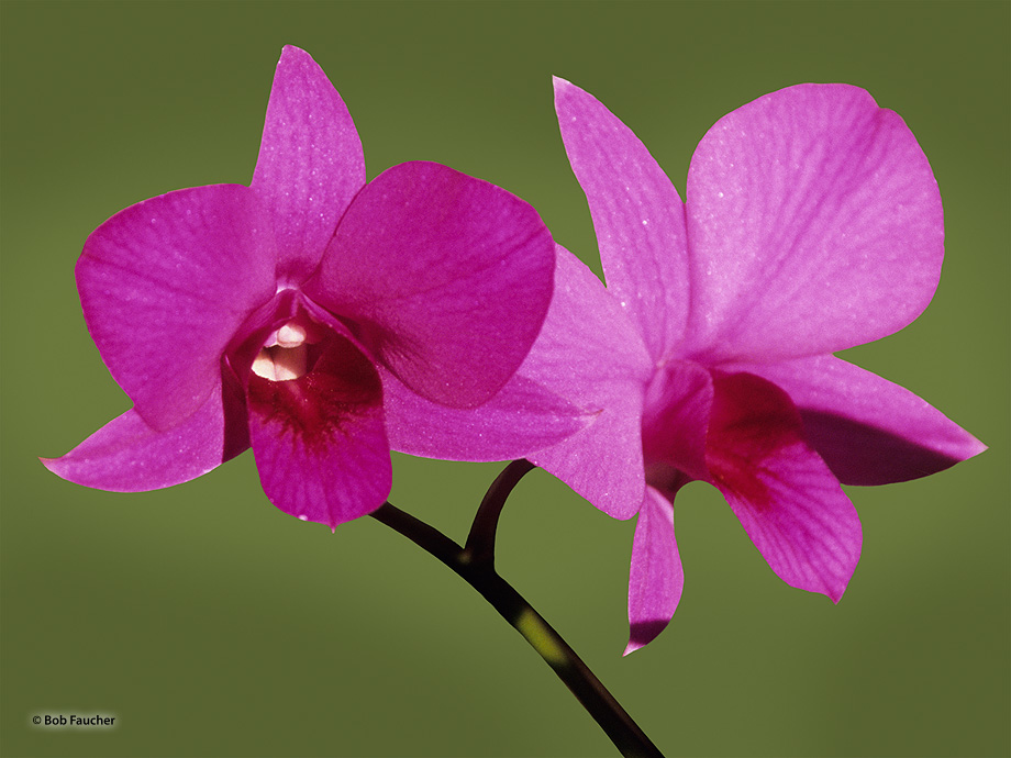plant,flower,orchid,purple, photo
