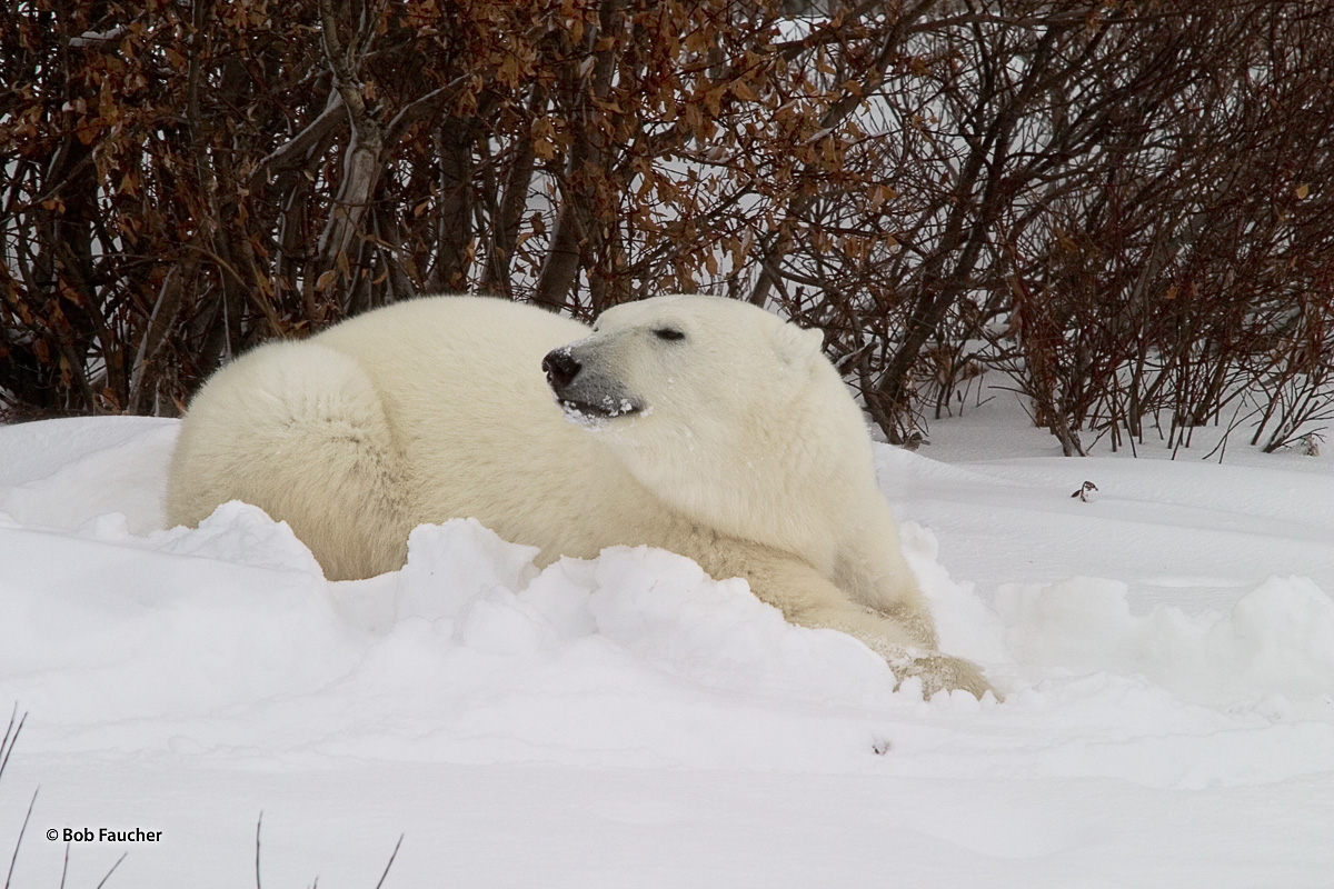 The resting Polar bear (Ursus maritimus) was aroused by something he could hear or smell that the photographer could not. Within...
