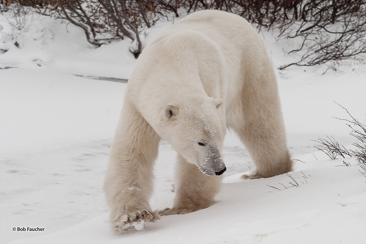 In western Hudson Bay, Canada, near the southern extent of their range, polar bears (Ursus maritimus) may fast for periods of...