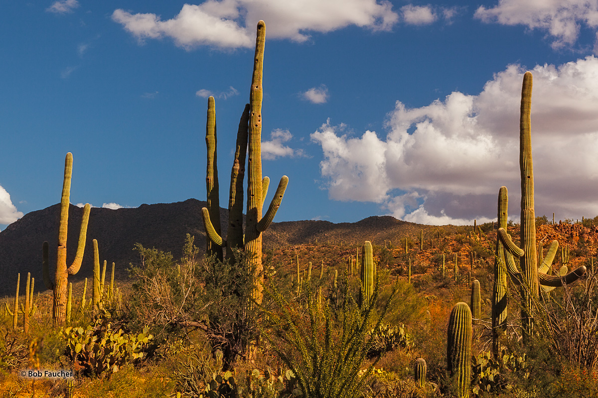 Afternoon light warms the Little Rincon Mountains and the desert flora.