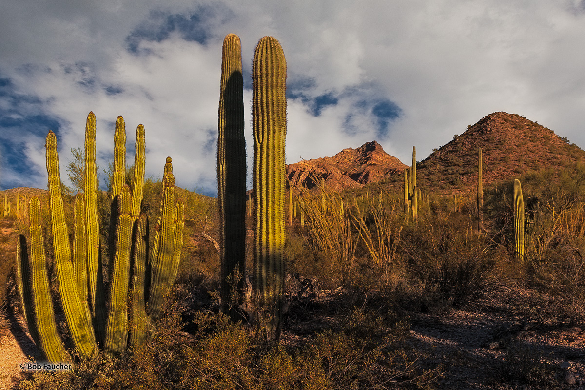 Organ pipe and saguaro cactus fill the landscape around the Puerto Blanco Mountains