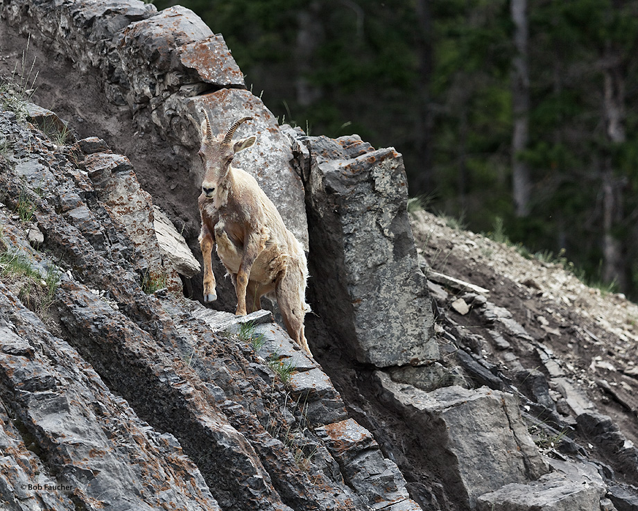Bighorn Sheep,ewe, photo