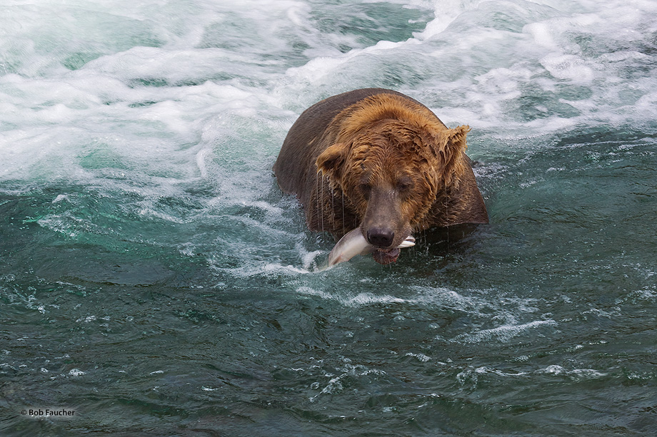 Brown (Grizzly) bear,Ursus Arctos,Brooks Falls,salmon,fishing,Alaska, photo