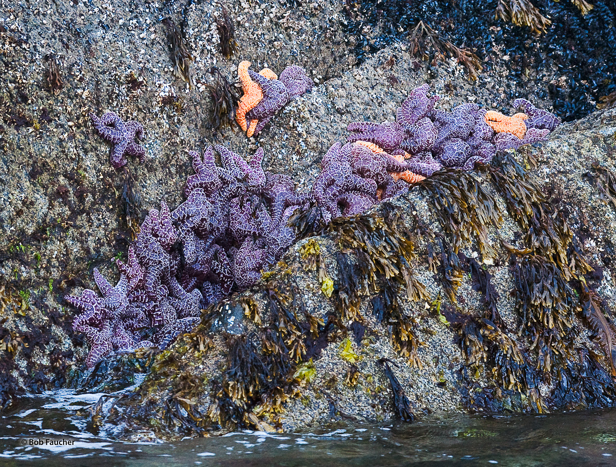 Amid barnacles and kelp, purple and orange sea stars cling to each other and a rocky headland in Resurrection Bay, at a low tide...