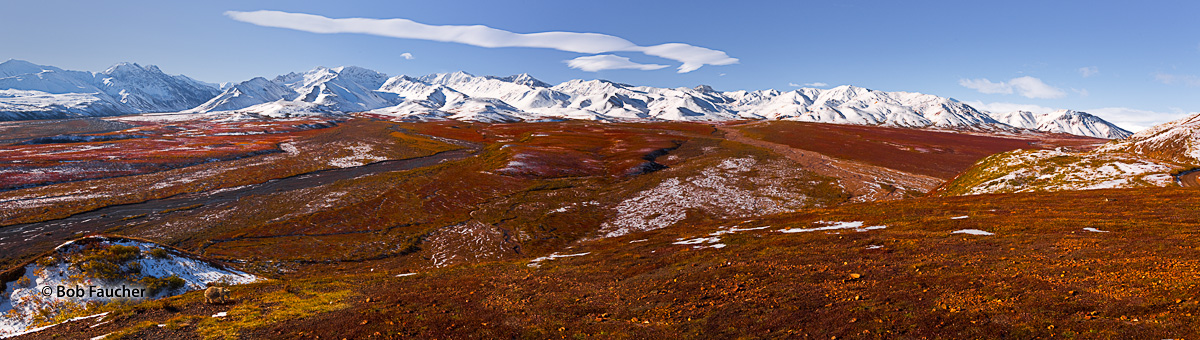 A Brown Bear walks in the brightly colored autumn tundra near Polychrome pass in Denali National Park, Alaska.