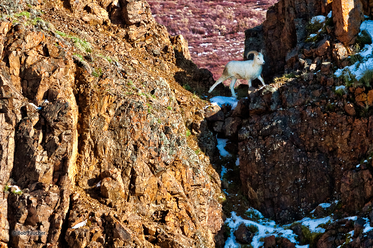 Alaska,Dall sheep,Denali NP,Ovis dalli, photo