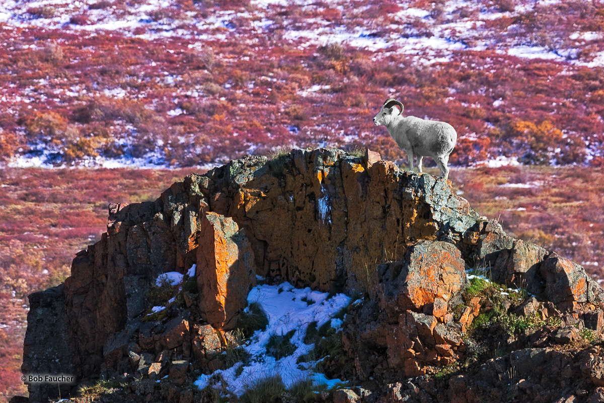 The photographer watched this young adult Dall Sheep ram  climb to the top of this rocky outcrop, then proceed to survey the...