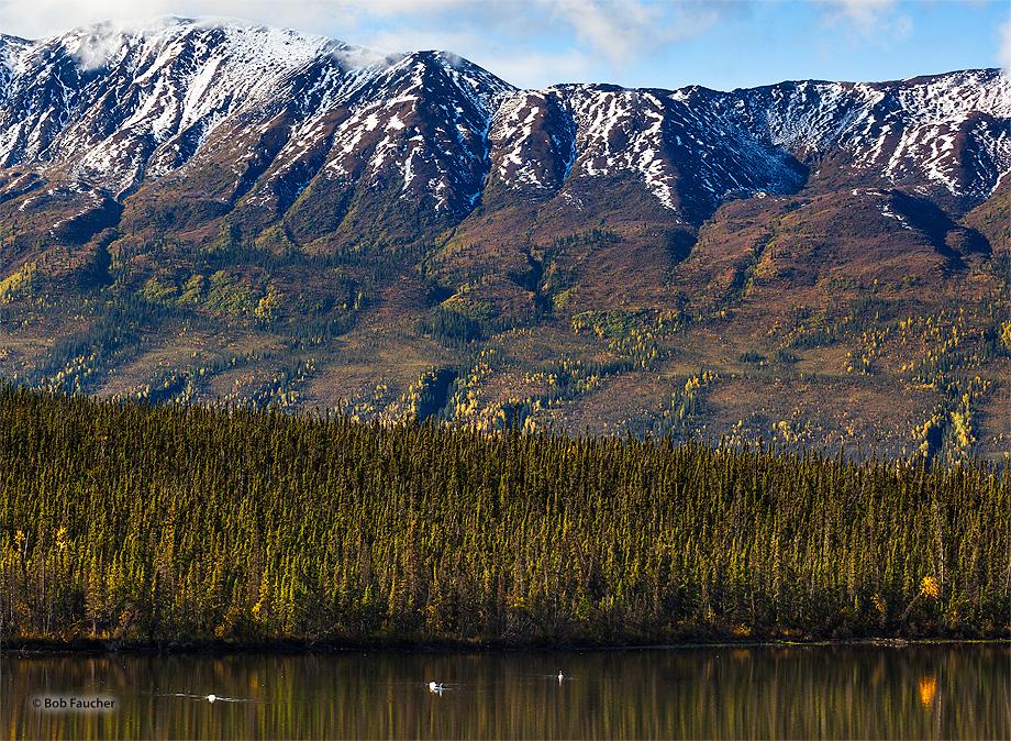 Swan,Pickhandle Lake,Kluane NP,Yukon,Canada, photo