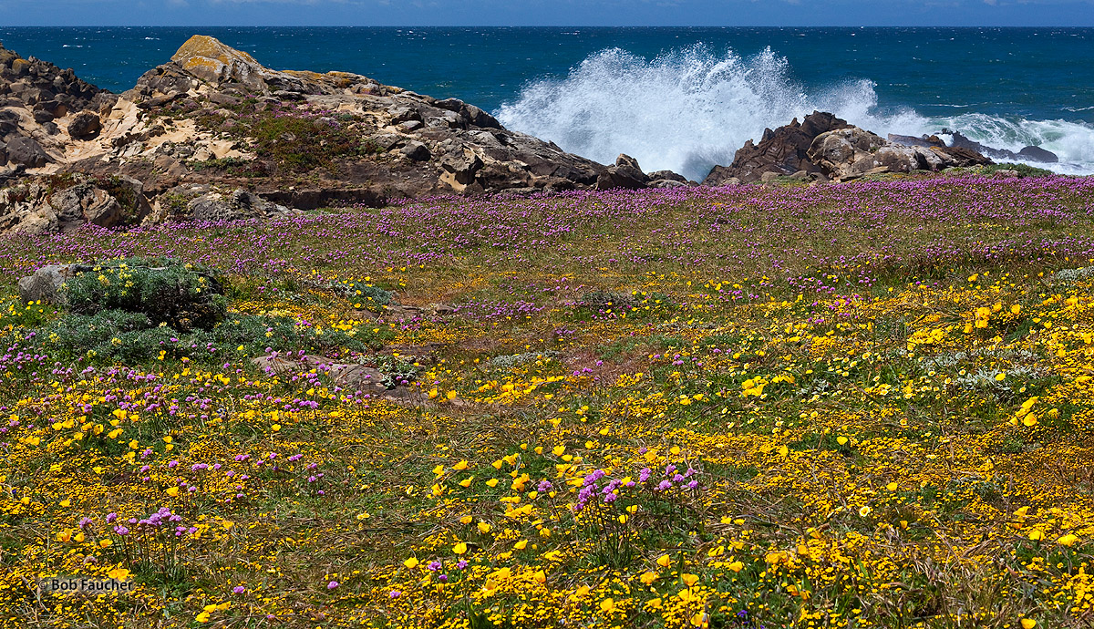 Salt Point SP, wildflowers, exploding surf, photo
