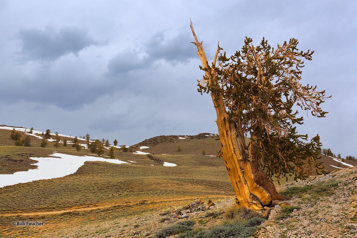 Bristlecone Pine, White Mountains, photo