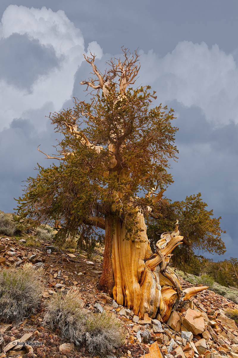 Bristlecone Pine, White Mountains, photo
