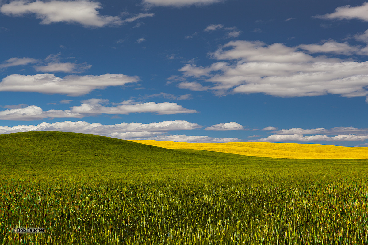 Palouse, Wheat, Canola, photo