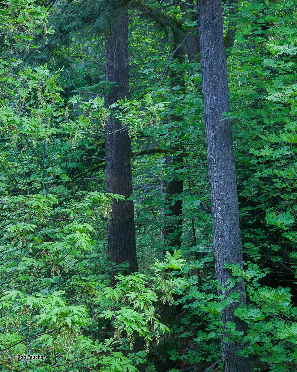 Bigleaf maples flourish at the edges of Llandover Woods Park in Seattle