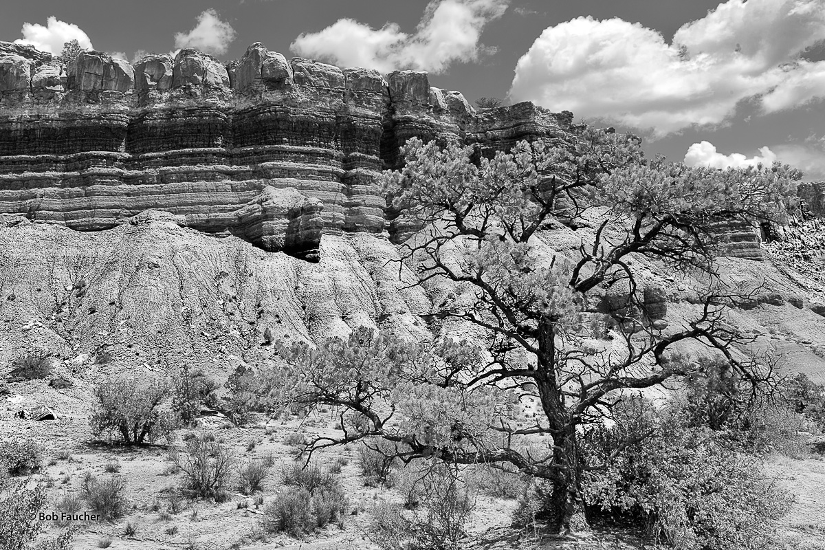 Highly contorted pine tree growing in the wash below one of the walls in Capitol Reef NP