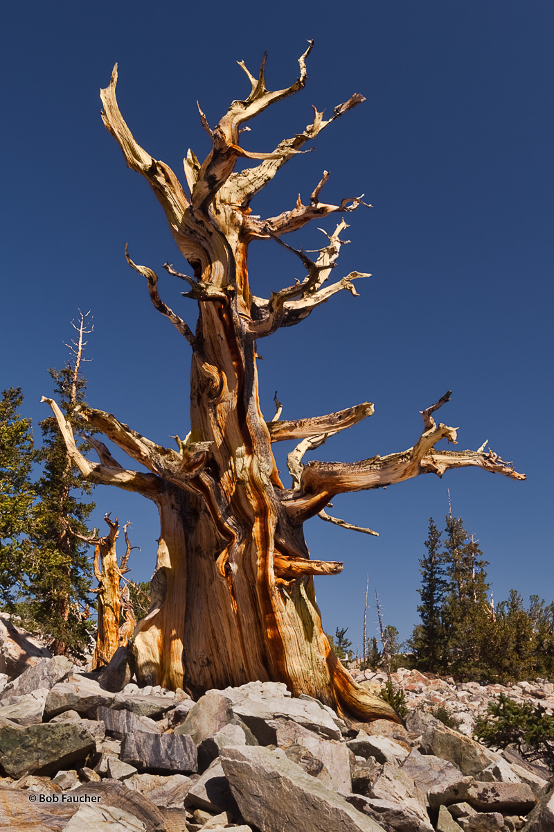 With a few Limber Pines, often mistaken for Bristlesone Pines, close by, a pair of ever-so-slowly dying Bristlecone Pines bask...