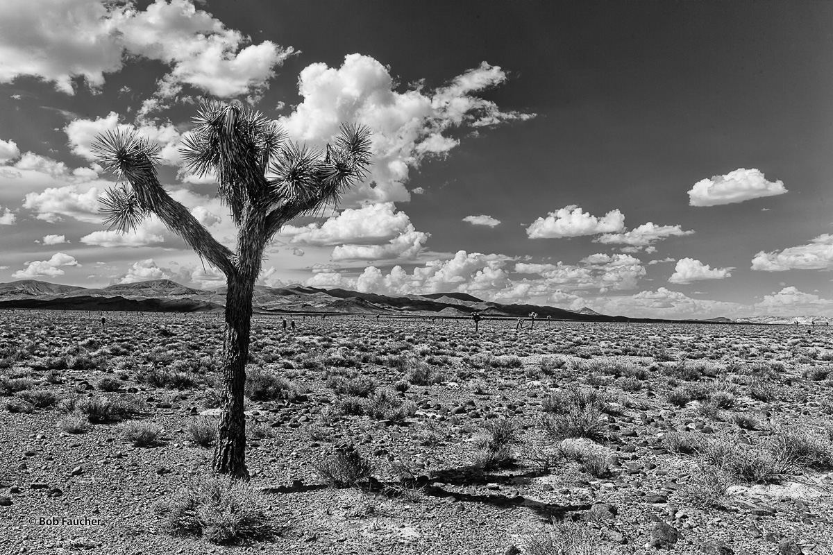 Widely-spread Joshua Trees stud the Nevada desert below Mt. Jackson Ridge and the Cuprite Hills as afternoon sun casts deep shadows...