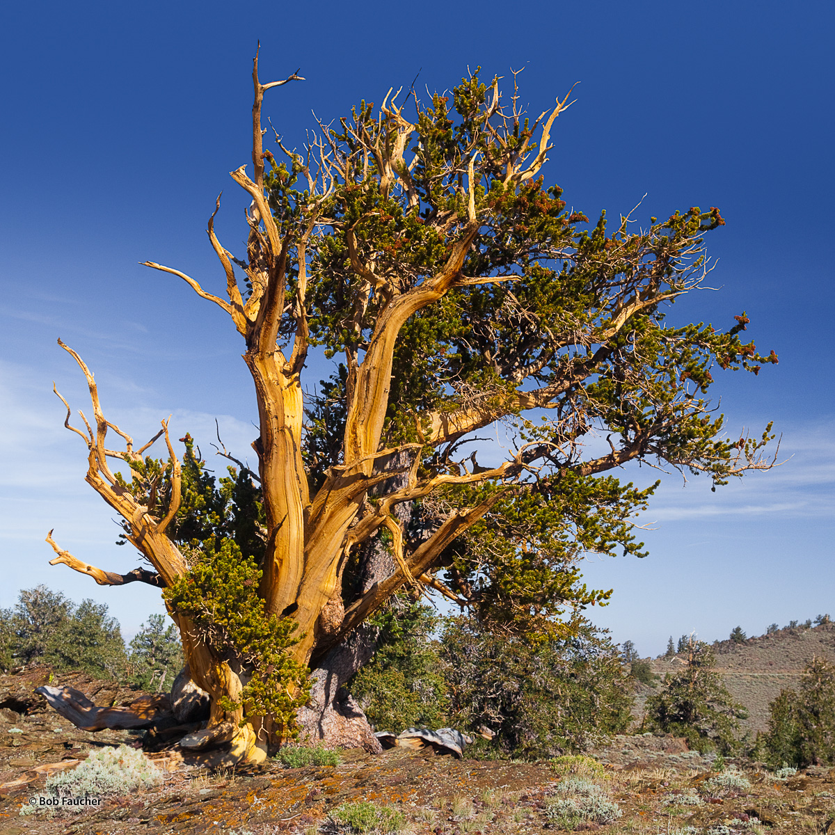 Maturing Bristlecone Pine stands on a ridge crest along the road to Patriarch Grove in the White Mountains of California