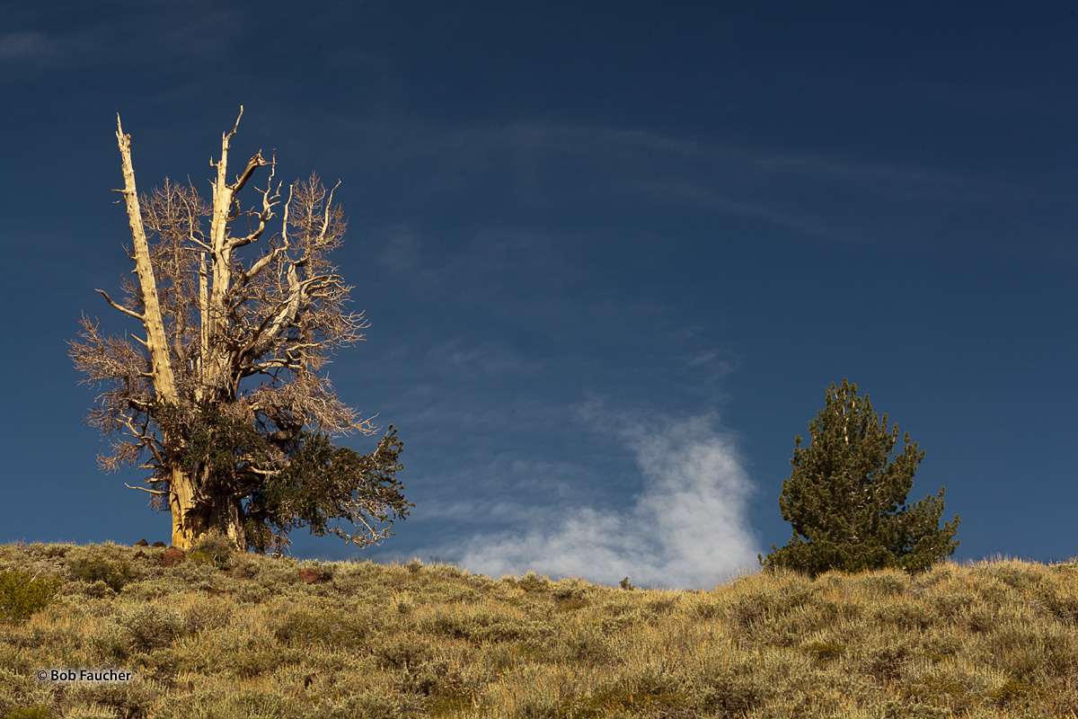 A mature and a young Bristlecone Pine have the perfect spot to watch clouds float by in the early morning light
