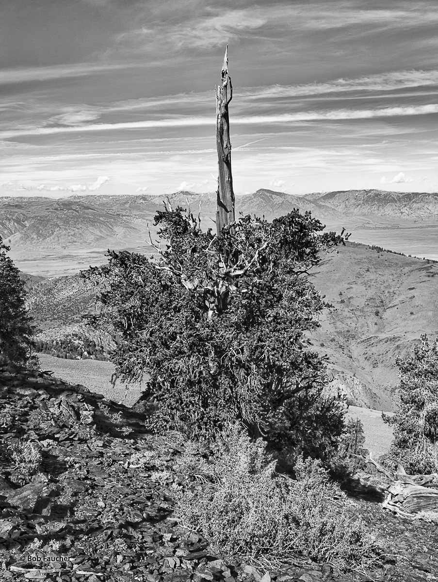 With the Owens Valley and Sierra Escarpment at its feet, this Bristlecone Pine has every reason to celebrate its life as one...