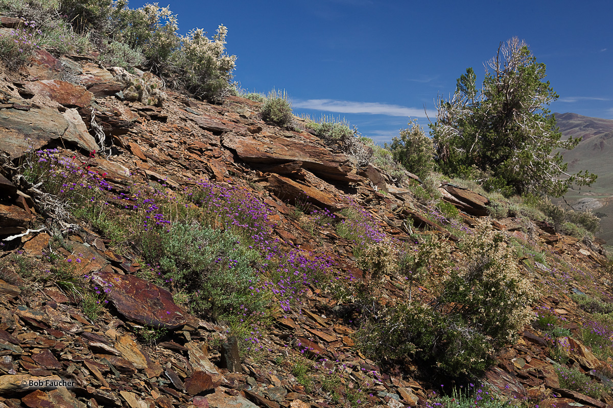 Blooming wildflowers cover the rocky hillside they share with a young Bristlecone Pine in the White Mountains