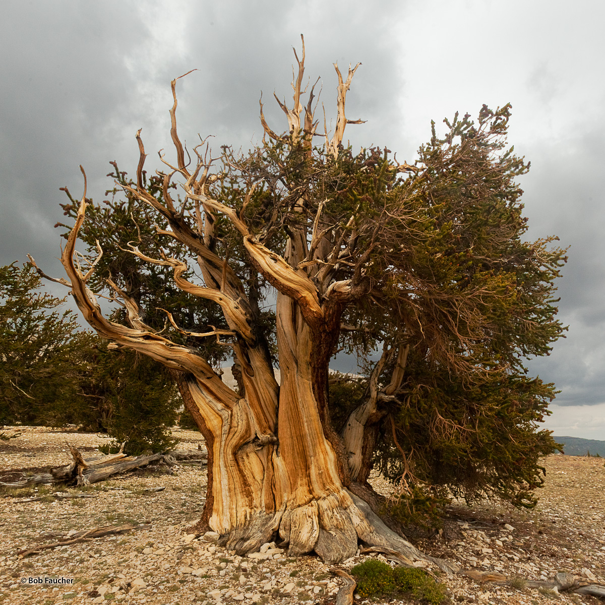 Multi-trunked Bristlecone Pine thrives in the wind-blown Patriarch Grove, well above 11,000 feet. The leeward side of the tree...