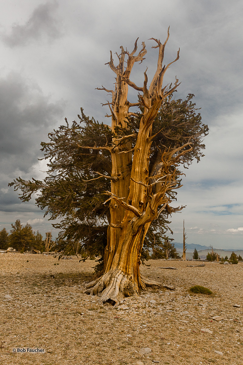 Standing alone against the constant battering of natural elements, this specimen of Bristlecone Pine is notably outshining some...