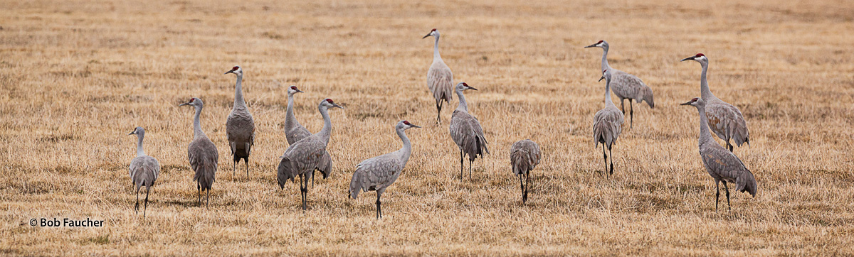 Sandhill Cranes forage in a field in the Wilcox Ditch along the Warner Highway on the way to Hart Mountain National Antelope...