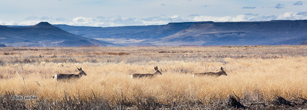 White Tail Deer make their way across Blitzen Valley in the Malheur National Wildlife Refuge with the Jackass Mountains on the...