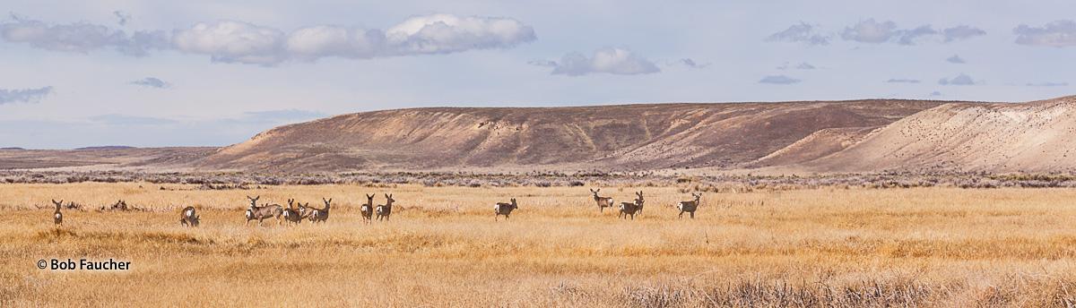 A small herd of White Tail deer cross the Blitzen Valley in the Malheur National Wildlife Refuge