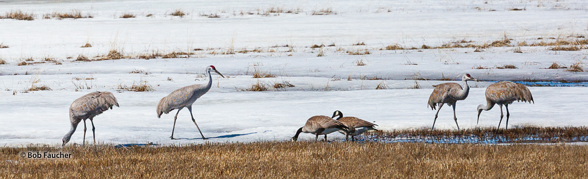 Sandhill Cranes forage in a snow-covered marshy field with some Canada geese, included in the image for size comparison.